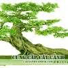 Cy cnh BONSAI